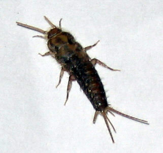 silverfish bugs control and learn how to get rid of silverfish bugs. Black Bedroom Furniture Sets. Home Design Ideas